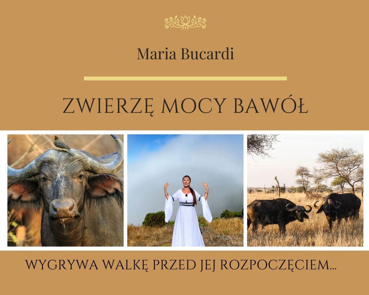 Zwierzę Mocy Bawół znaczenie Marii Bucardi