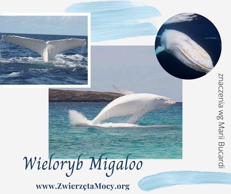 Biały wieloryb Migaloo, zwierzę mocy wieloryb, zwierzęta mocy znaczenie wg Marii Bucardi